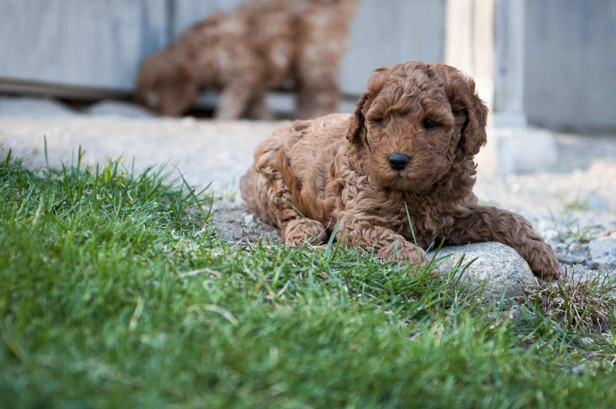 Adorable Down East Labradoodles | Breeder of mini and medium