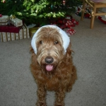 Adorable Down East Labradoodle