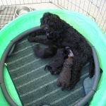 Adorable Down East Labradoodle Prissy
