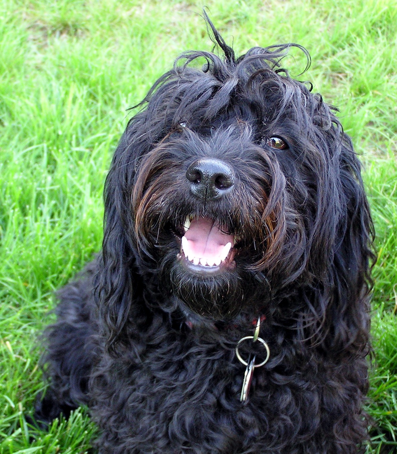 Retired dogs | Adorable Down East Labradoodles