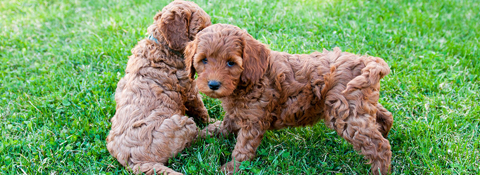 Adorable Down East Labradoodles Breeder Of Mini And