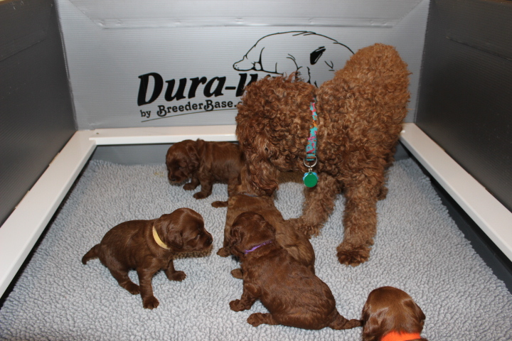 New England Labradoodle Puppy Adorable Down East Labradoodles