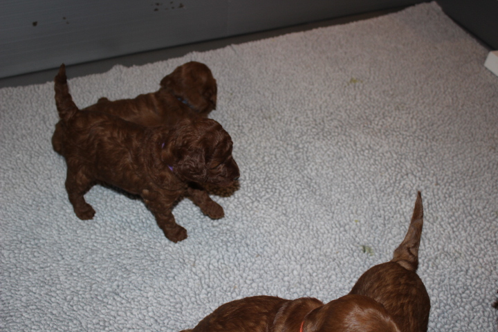 roxieu0027s labradoodle puppies all gained weight are active and healthy i set up a litter box for roxieu0027s pups yesterday some are already climbing over in to