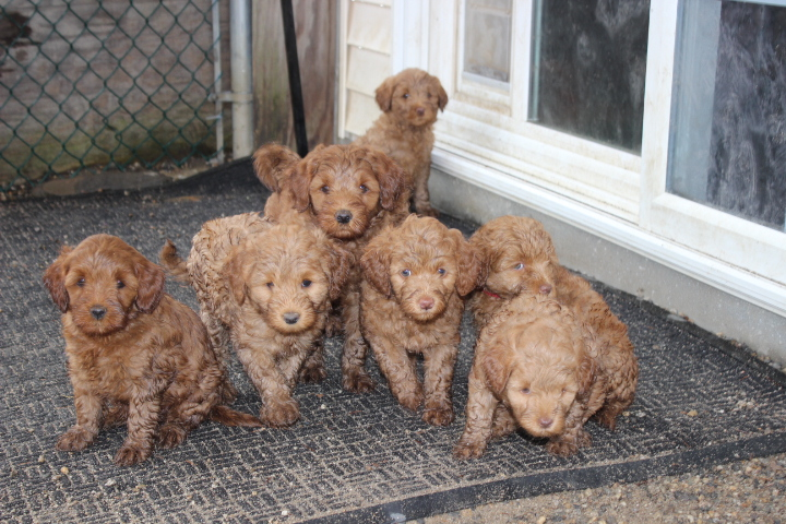 Southern Maine Labradoodle Puppy Adorable Down East Labradoodles