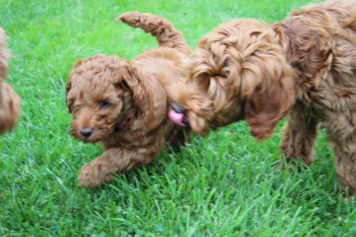 Southern Maine Labradoodle Puppy  | Adorable Down East