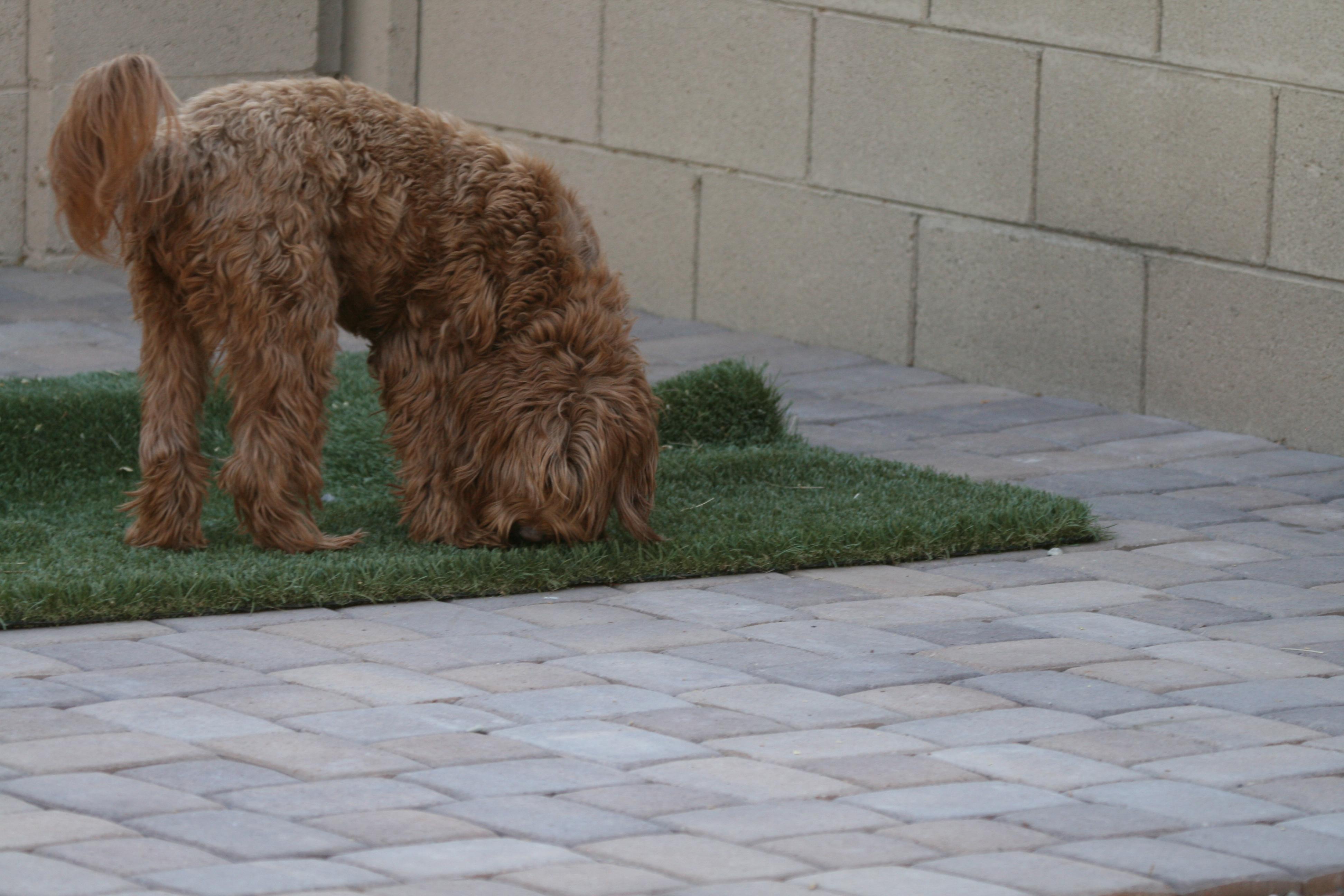 ADEL\'s Labradoodle Puppy Arizona, New England & California ...